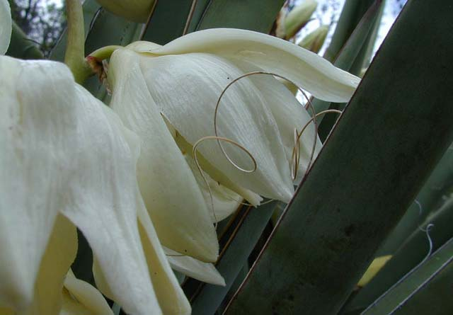 Yucca bacata flowers