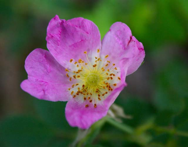 Rosa woodsii - Woods Rose in bloom, native to the southwest